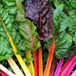 Rainbow Mix Swiss Chard Transplant